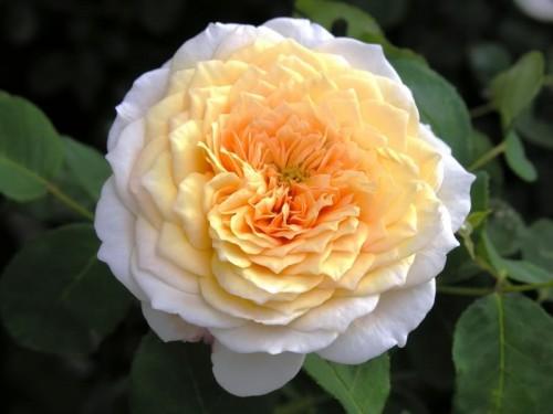 роза инглиш гарден