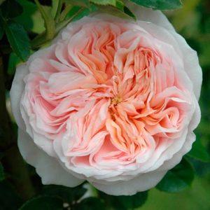 Роза клер роуз