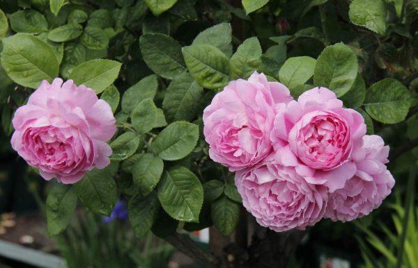 Роза мери роуз