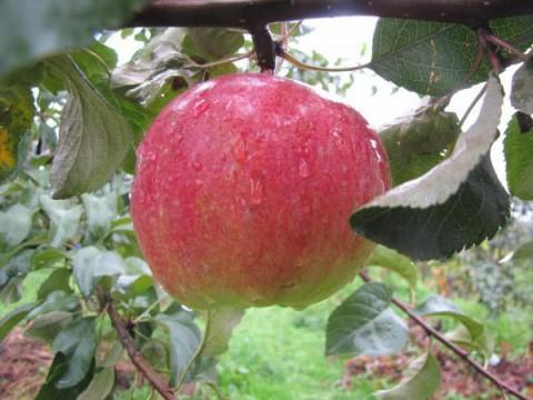 Яблоня родничок