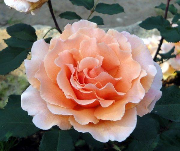 лососевые розы