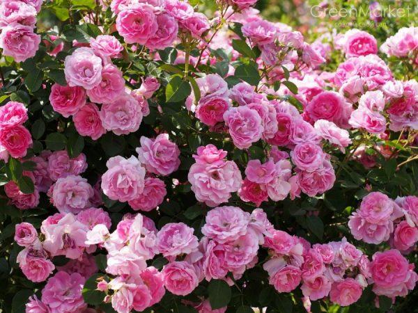 мускусная роза
