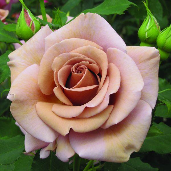 кофейная роза