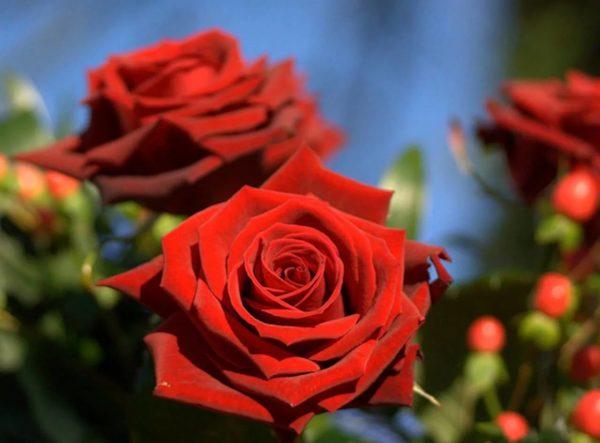темно красная роза