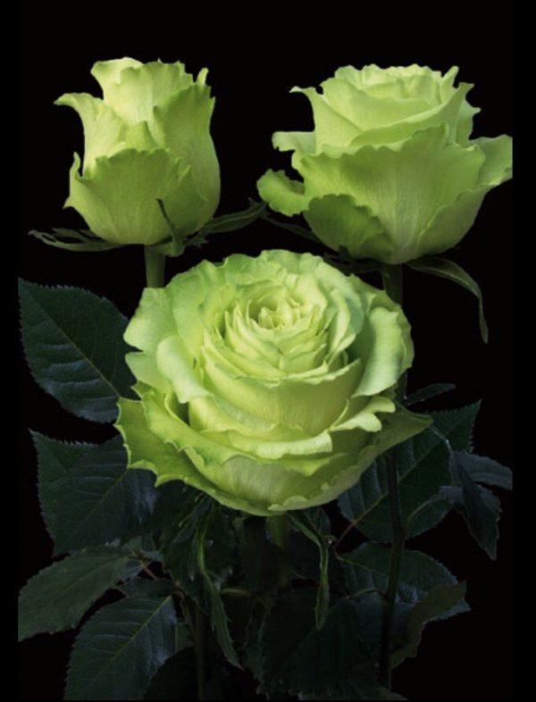 зеленые розы
