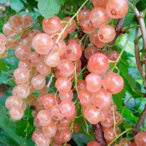 розовая смородина