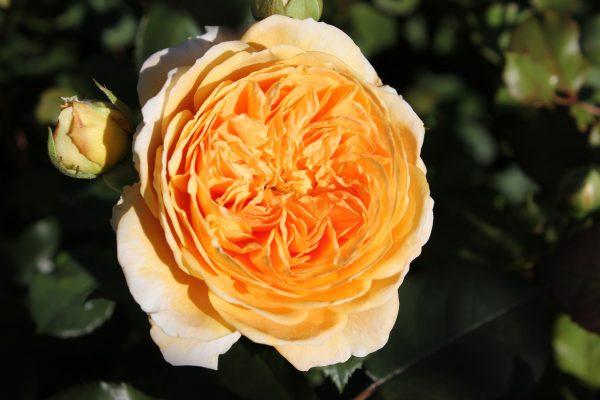 персиковые розы
