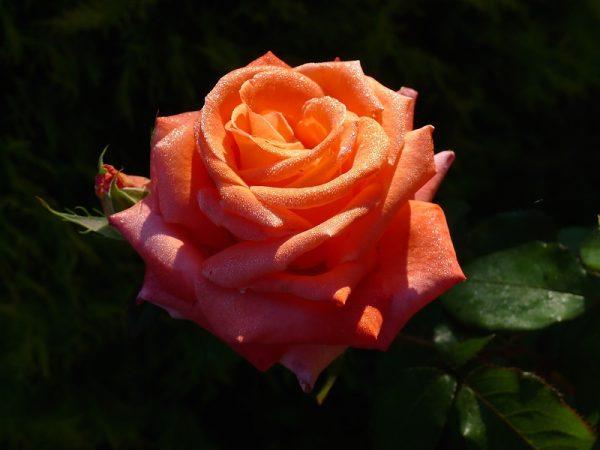 оранжевые розы