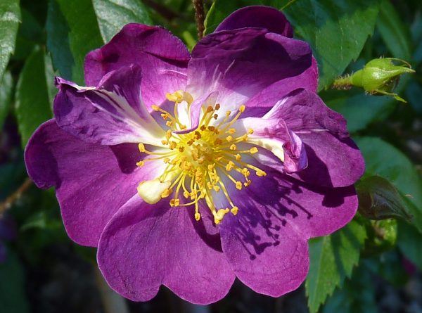 сиреневая роза