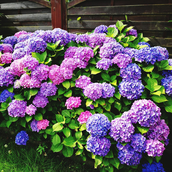 Endless Summer Bloomstar
